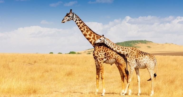 Communiquer comme une girafe ou un chacal?